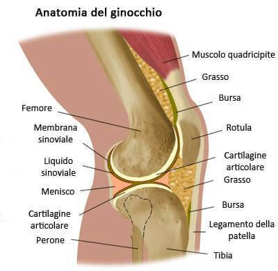 Anatomia del ginocchio.