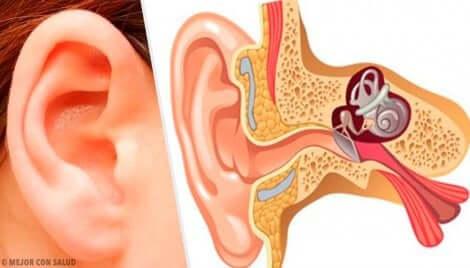 Anatomia dell'orecchio umano.