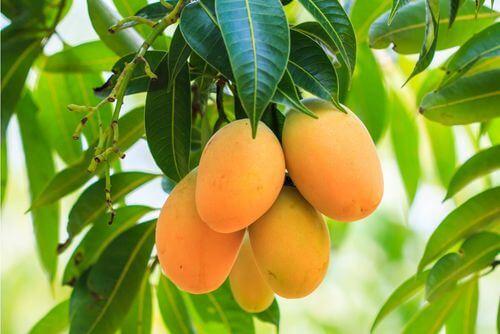 Pianta con frutti e foglie di mango.