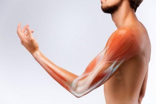 Tessuto muscolare dell'essere umano.