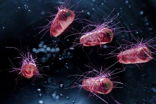 Batterio escherichia coli.