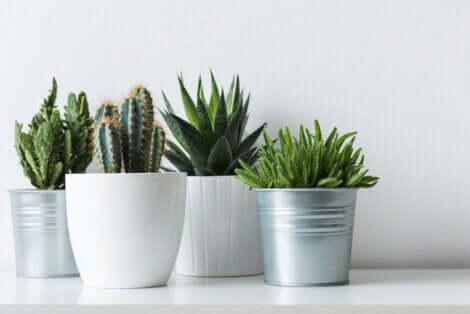 Cactus nei vasi.