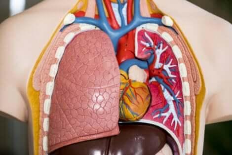 Composizione polmoni.
