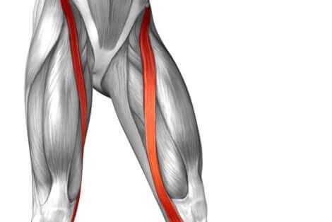 Muscolo sartorio nella coscia.