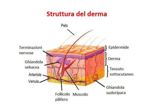 La struttura del derma.