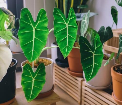 Alocasia piante da interni.