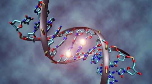 Il gene della coda vestigiale.