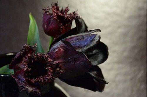 Tulipano piante di colore nero.