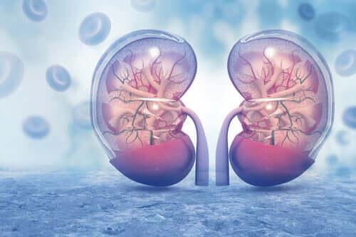Anatomia dei reni.