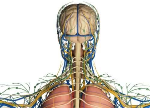 Il sistema linfatico: quale funzione nell'organismo?