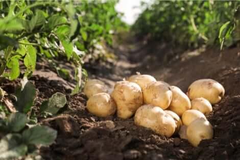 Coltivare le patate nell'orto.