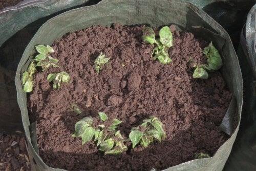 Coltivare le patate in casa: un'attività facile