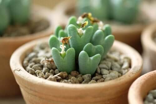Pietre vive: cure per una speciale pianta grassa