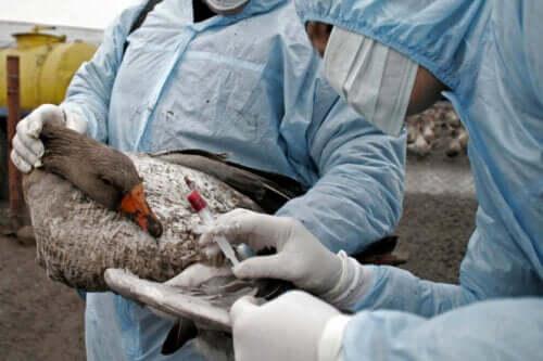 Influenza aviaria: sintomi, diagnosi e trattamento